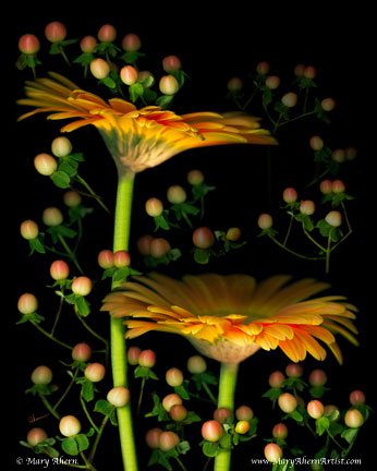 Gerbera Daisies with Hypericum