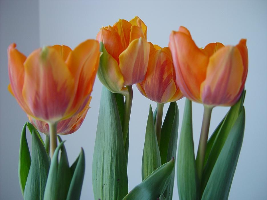 Original photograph of the Orange Tulips
