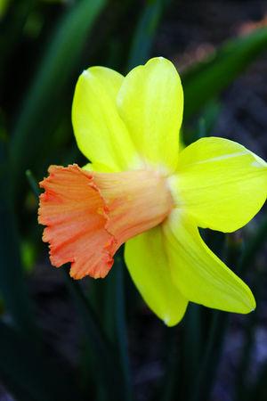 Division 2 Large cup daffodil - Capree Elizabeth