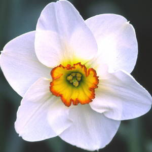 Division 3 Short cup daffodil - Merlin
