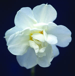 Division 4 Double daffodil - Daphne