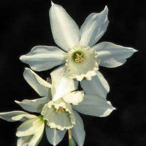 Division 5 Triandrus daffodil - Thalia
