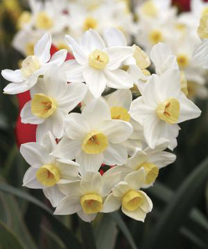Division 8 Ttazetta daffodil - Avalanche