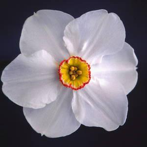 Division 9 Poeticus daffodil - Actea