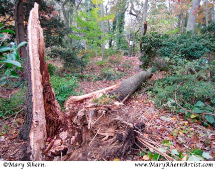 Oak tree lost in battle with Hurricane Sandy