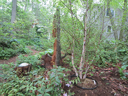 Oak tree stump with new birch tree