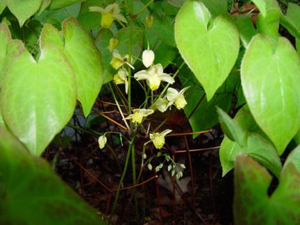 Epimedium x versicolor 'Sulphureum' hiding in the dark in the garden of the Artist, Mary Ahern