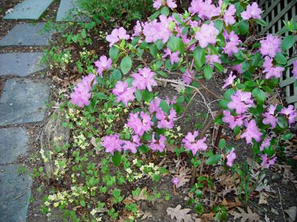 Rhododendron PJM & Epimedium x versicolor 'Sulphureum' in the garden of the Artist, Mary Ahern