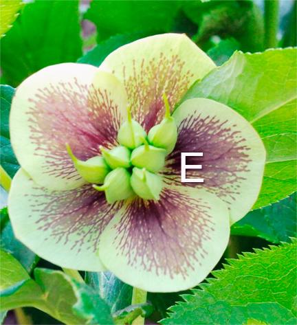 Hellebore botany