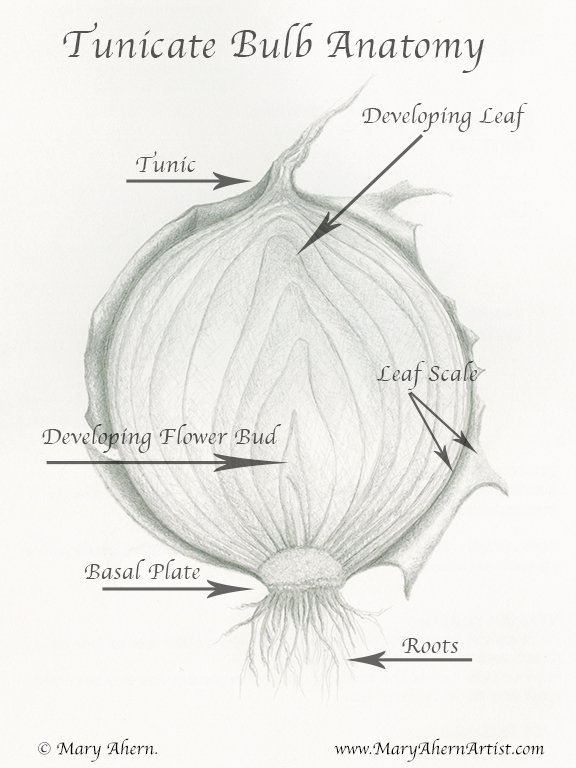 Yellow Onion Bulb