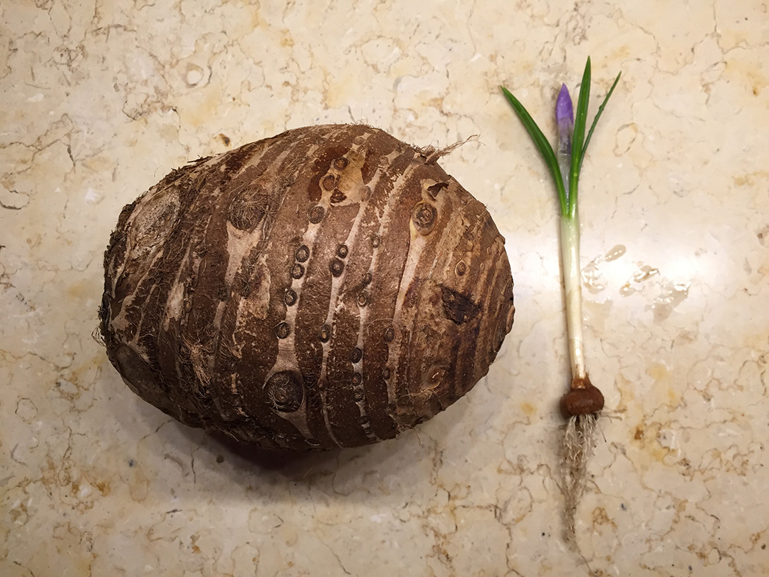 what is a corm and how is it propagated